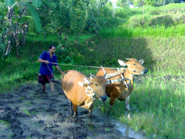 daily-actvities-of-local-people-in-sekumpul-village-bali-travel-experiences